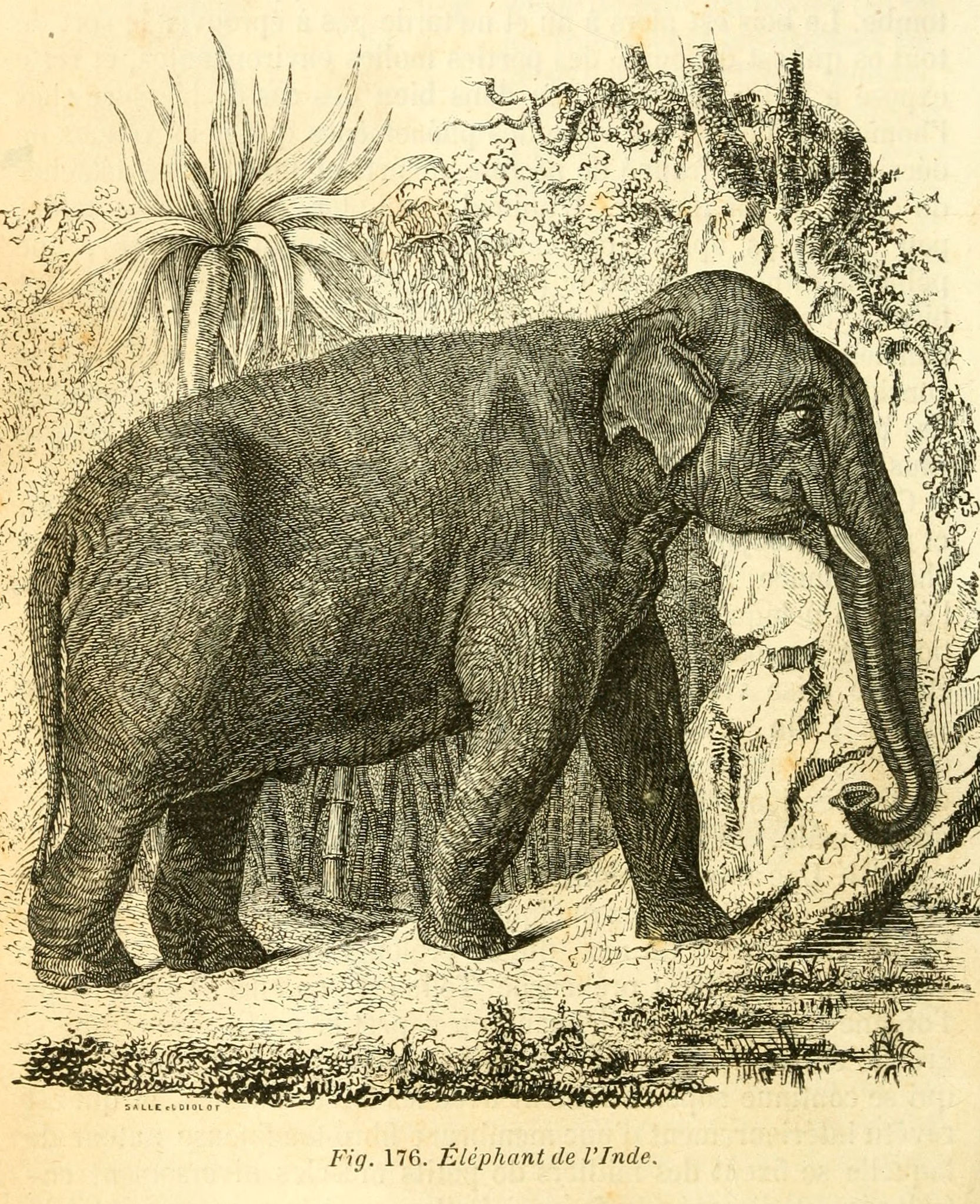 dessins scolaires zoologie dessins scolaires zoologie 336 elephant de l inde gravures. Black Bedroom Furniture Sets. Home Design Ideas