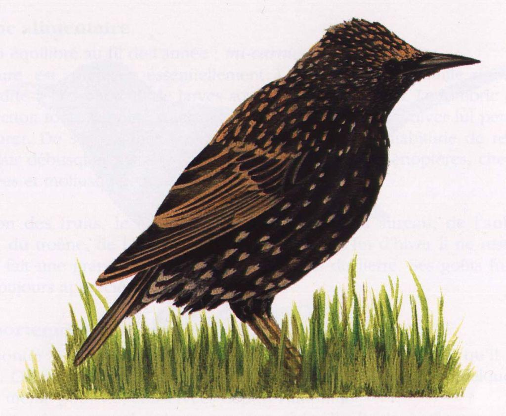 Dessins petits oiseaux dessins de petits oiseaux for Oiseau orange et noir