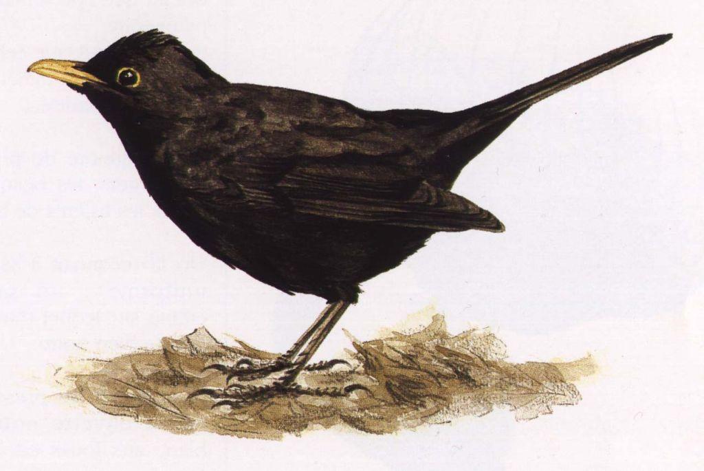 Dessins petits oiseaux dessins de petits oiseaux for Oiseau noir et gris