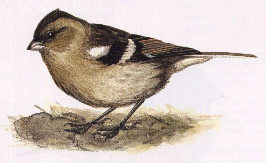 Dessins petits oiseaux dessins de petits oiseaux for Petit oiseau gris