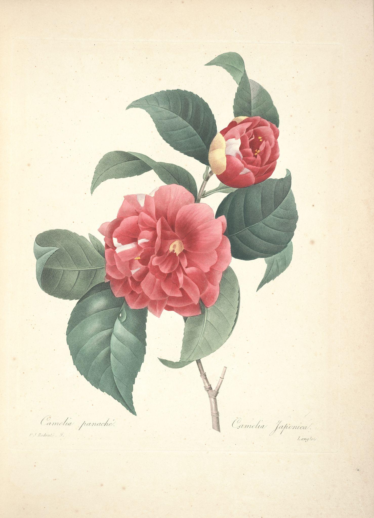 gravures de fleurs par redoute gravures de fleurs par redoute 034 camelia panache camelia. Black Bedroom Furniture Sets. Home Design Ideas