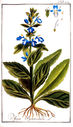 gravures_anciennes_de_fleurs_-_Ajuga_pyramidalis.jpg