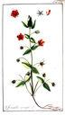 gravures_anciennes_de_fleurs_-_Anagallis_arvensis.jpg