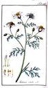gravures_anciennes_de_fleurs_-_Anthemis_cotula.jpg