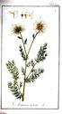gravures_anciennes_de_fleurs_-_Anthemis_nobilis.jpg