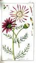 gravures_anciennes_de_fleurs_-_Anthemis_pyrethrum.jpg