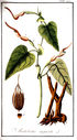 gravures_anciennes_de_fleurs_-_Aristolochia_anguicida.jpg