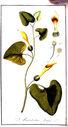 gravures_anciennes_de_fleurs_-_Aristolochia_longa.jpg