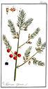 gravures_anciennes_de_fleurs_-_Asparagus_officinalis.jpg