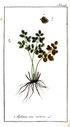 gravures_anciennes_de_fleurs_-_Asplenium_ruta-muraria.jpg