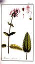 gravures_anciennes_de_fleurs_-_Betonica_officinalis.jpg
