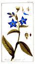 gravures_anciennes_de_fleurs_-_Borago_officinalis.jpg