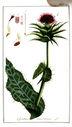 gravures_anciennes_de_fleurs_-_Carduus_marianus.jpg