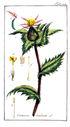 gravures_anciennes_de_fleurs_-_Centaurea_benedicta.jpg