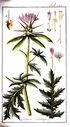 gravures_anciennes_de_fleurs_-_Centaurea_calcitrapa.jpg