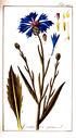gravures_anciennes_de_fleurs_-_Centaurea_cyanus.jpg