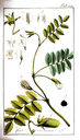 gravures_anciennes_de_fleurs_-_Cicer_arietinum.jpg