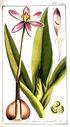 gravures_anciennes_de_fleurs_-_Colchicum_autumnale.jpg