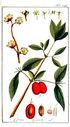 gravures_anciennes_de_fleurs_-_Cornus_mascula.jpg