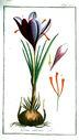 gravures_anciennes_de_fleurs_-_Crocus_sativus.jpg