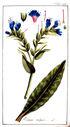 gravures_anciennes_de_fleurs_-_Echium_vulgare.jpg