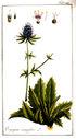 gravures_anciennes_de_fleurs_-_Eryngium_campestre.jpg