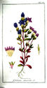 gravures_anciennes_de_fleurs_-_Gentiana_amarella.jpg