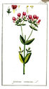 gravures_anciennes_de_fleurs_-_Gentiana_centaurium.jpg