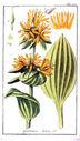 gravures_anciennes_de_fleurs_-_Gentiana_lutea.jpg
