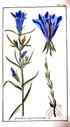 gravures_anciennes_de_fleurs_-_Gentiana_pneumonanthe.jpg