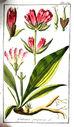 gravures_anciennes_de_fleurs_-_Gentiana_purpurea.jpg