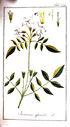 gravures_anciennes_de_fleurs_-_Jasminum_officinale.jpg