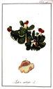 gravures_anciennes_de_fleurs_-_Lichen_aphtosus.jpg