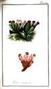 gravures_anciennes_de_fleurs_-_Lichen_caninus.jpg
