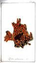 gravures_anciennes_de_fleurs_-_Lichen_pulmonarius.jpg