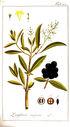 gravures_anciennes_de_fleurs_-_Ligustrum_vulgare.jpg