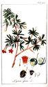 gravures_anciennes_de_fleurs_-_Lycium_afrum.jpg