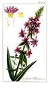 gravures_anciennes_de_fleurs_-_Lythrum_salicaria.jpg