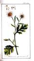 gravures_anciennes_de_fleurs_-_Matricaria_parthenium.jpg