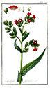 Gravures_de_plantes_-_Anchusa_officinalis.jpg