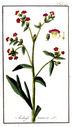 Gravures_de_plantes_-_Anchusa_tinctoria.jpg