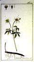 Gravures_de_plantes_-_Anemone_nemorosa.jpg