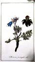 Gravures_de_plantes_-_Anemone_pratensis.jpg