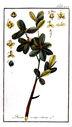 Gravures_de_plantes_-_Buxus_sempervirens.jpg