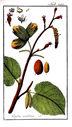 Gravures_de_plantes_-_Corylus_avellana.jpg