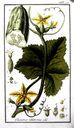 Gravures_de_plantes_-_Cucumis_sativus.jpg