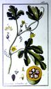 Gravures_de_plantes_-_Cucurbita_citrullus.jpg