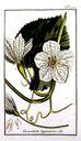 Gravures_de_plantes_-_Cucurbita_lagenaria.jpg