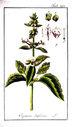 Gravures_de_plantes_-_Ocymum_basilicum.jpg