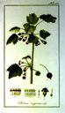 Gravures_de_plantes_-_Ribes_nigrum.jpg